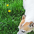 Jack Russell Terrier by Minding My  Visions by Adri and Ray
