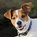 Jack Russell Terrier by Brian Bevan