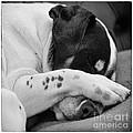 Jack Russell Terrier Dog Asleep In Cute Pose by Natalie Kinnear