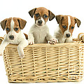 Jack Russell Terrier Puppies by Jean-Michel Labat