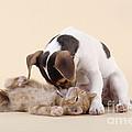 Jack Russell Terrier Puppy And Kitten by John Daniels