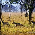 Jackals On Savanna. Safari In Serengeti. Tanzania. Africa by Michal Bednarek