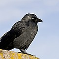 Jackdaw by Science Photo Library