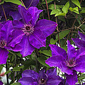 Jackmanii Purple Clematis Vine by Kathy Clark