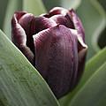 Jackpot Tulip by Joseph Skompski