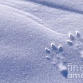 Jackrabbit Tracks In Snow by Rod Planck