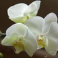 Jack's Orchids by Bob Hislop