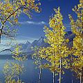 1m9206-jackson Lake And Aspens, Wy by Ed  Cooper Photography