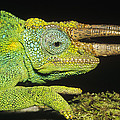 Jacksons Chameleon Male East Africa by Konrad Wothe