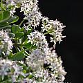 Jade Plant Flowers by Randy J Heath