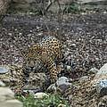 Jaguar 4 by Phil Abrams