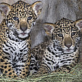 Jaguar Cubs by San Diego Zoo
