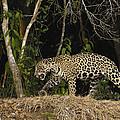 Jaguar Cuiaba River Brazil by Pete Oxford