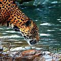 Jaguar Drinking by Frank Larkin