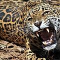 Jaguar Intensity by Christopher Miles Carter
