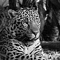 Jaguar Mono by Mickey At Rawshutterbug