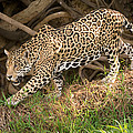 Jaguar Panthera Onca Foraging by Panoramic Images