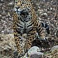 Jaguar by Phil Abrams
