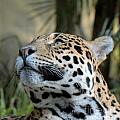 Jaguar Portrait by Mickey At Rawshutterbug