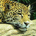 Jaguar Portrait by Phillip W Strunk