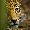 Jaguar by Raul Rodriguez