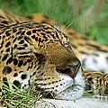 Jaguar Resting by Millard H. Sharp