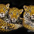 Jaguars by Krzysztof Wiktor