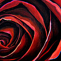 January Rose by Thu Nguyen