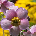 Japanese Anemone by Alfred Ng