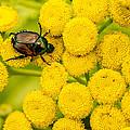 Japanese Beetle She Ruv You Ya Ya Ya by Jayne Gohr
