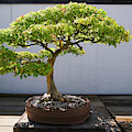 Japanese Bonsai Tree In National by Panoramic Images