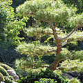Japanese Garden Tree by Laurel Powell