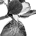 Japanese Iris Flower Monochrome by Jennie Marie Schell