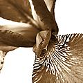 Japanese Iris Flower Sepia Brown 2 by Jennie Marie Schell