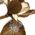 Japanese Iris Flower Sepia Brown by Jennie Marie Schell