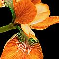 Japanese Iris Orange Black by Jennie Marie Schell