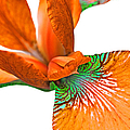 Japanese Iris Orange White Five by Jennie Marie Schell