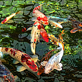 Japanese Koi Fish Pond by Jennie Marie Schell