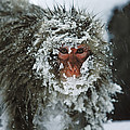 Japanese Macaque Covered In Snow Japan by Konrad Wothe
