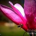 Japanese Magnolia Bloom by Dolores McKenzie