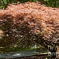 Japanese Maple by Bob Phillips
