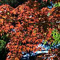 Japanese Maple Canopy by Chris Day