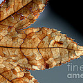 Japanese Maple Leaf Brown - 1 by Kenny Glotfelty