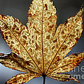 Japanese Maple Leaf Brown - 3 by Kenny Glotfelty