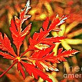Japanese Maple Leaf  by Chris Berry