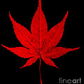 Japanese Maple Leaf by Scott Camazine