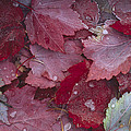 Japanese Maple Leaves With Frost by Tim Fitzharris