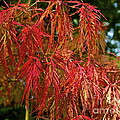 Japanese Maple by Linda Bianic