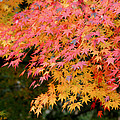 Japanese Maple by Living Color Photography Lorraine Lynch