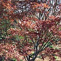 Japanese Maple by Pamela Critchlow